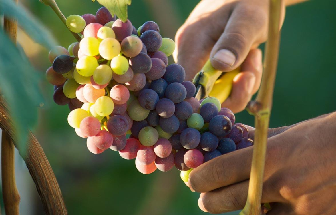 Vigneti - vini piemontesi - piedmont wines